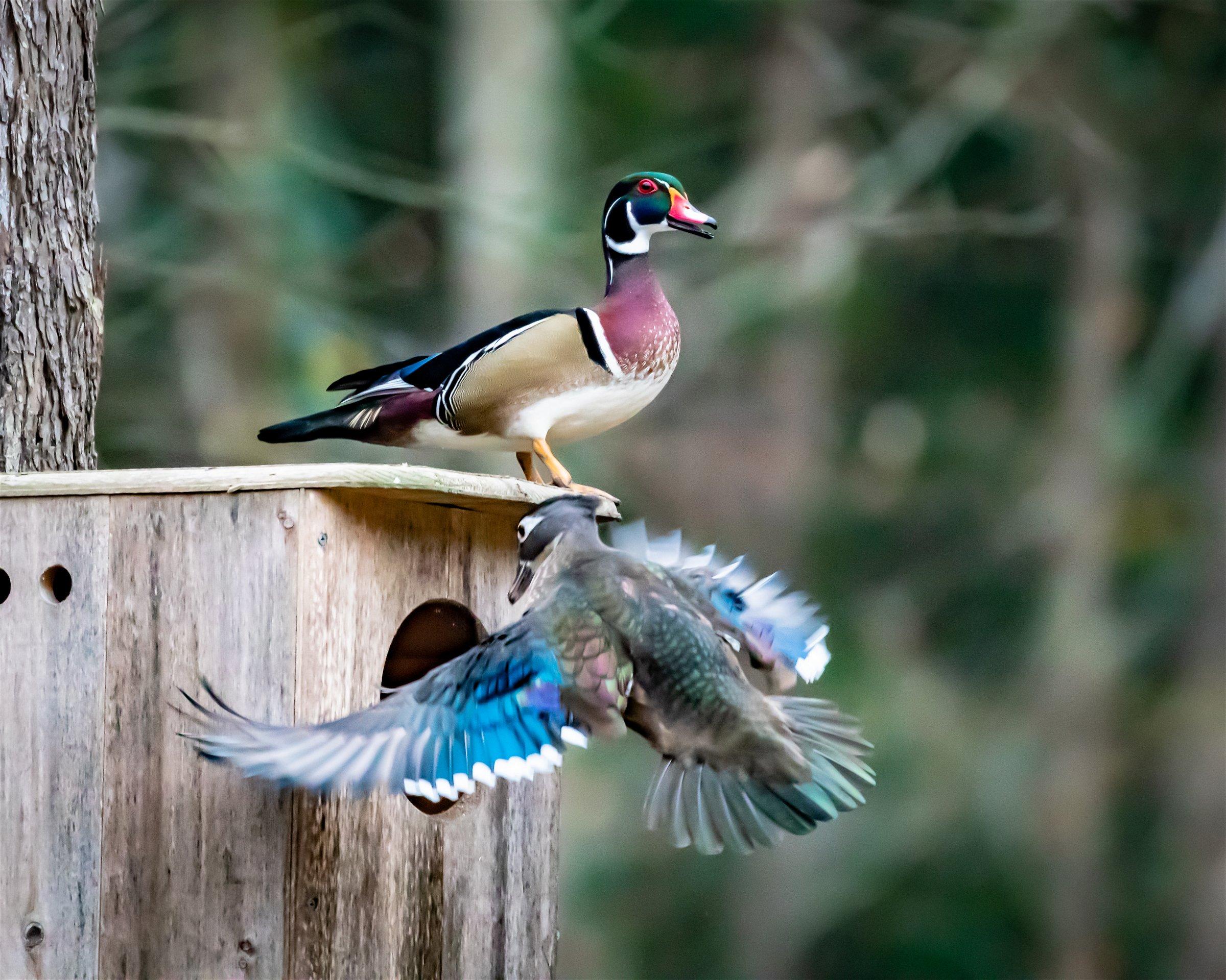 Kingsfield-Wood-Duck-Nest-Box
